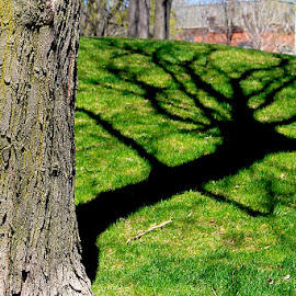 A Tree and it's Shadow by Ronnie Caplan - City,  Street & Park  City Parks ( hill, montreal, trunk, tree, park, grass, green, shadow, bark, buildings, moss, branches )