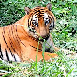 ROYAL BENGAL TIGER by Amarnath Karmakar - Animals Lions, Tigers & Big Cats ( nature, tiger, royal, wildlife, photography )
