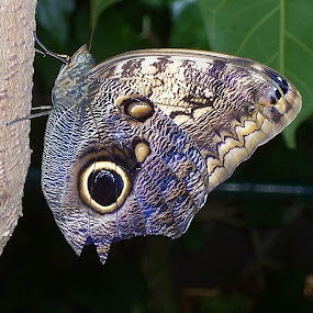 Butterfly Beauty by Ed Hanson - Animals Insects & Spiders ( butterfly, bright, colors, profile )