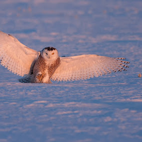 Snowy Owl by Rachel Bilodeau - Animals Birds ( chouette, snow, owl, snowy owl / harfang des neiges, snowy, raptor, neige, harfang )