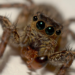 Home Spider by Eko Janu - Animals Insects & Spiders ( macro, jumping spider, spider, insect, animal )