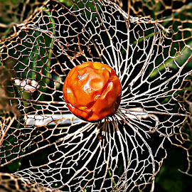With Sun In The Heart by Marija Jilek - Nature Up Close Other plants ( lace, heart, nature, plants, physalis alkekengi, seeds/fruit, sun )
