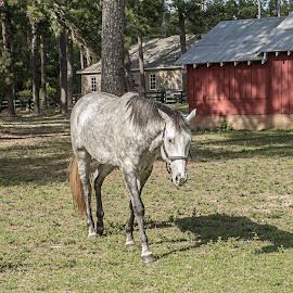 Grey Mare by Sandy Friedkin - Animals Horses ( walking, barn, horse, grey, woods,  )