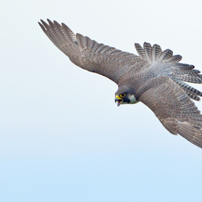 Wild Falcon by Herb Houghton - Animals Birds