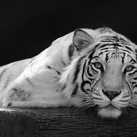 Chillin' by Nancy Arehart - Animals Lions, Tigers & Big Cats ( las vegas, big cats, tiger, black and white, captive )
