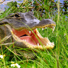 Gator Laughing by Howard Stockett - Animals Reptiles ( florida, everglades, american alligator, gator )
