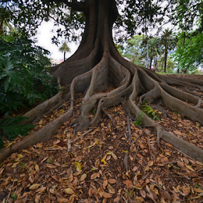 Wide Spread by Kamila Romanowska - Nature Up Close Trees & Bushes ( nature, tree, fig, roots, australia, sydney )