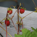Strawberry (wild/cultivated)