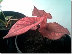 Caladium Jenis Thailand (No Name)