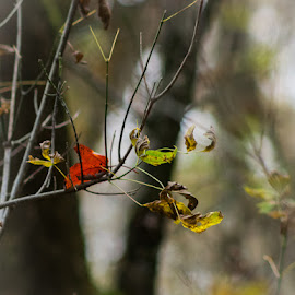 Misty Autumn by Chuck Campbell - Landscapes Forests ( k3, nature, autumn, manual focus, pentax, smc pentax a 400mm f5.6, leaves, bokeh )