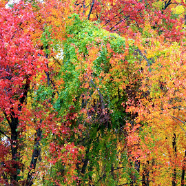 by Deborah Arin - Nature Up Close Trees & Bushes ( , fall, color, colorful, nature )