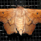 Scalloped Sack-Bearer Moth