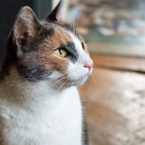 Dreamer by Gabriel Catalin - Animals - Cats Portraits