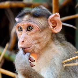 The little thinker by Maniraj M - Animals Other Mammals ( nature, wildlife, mammal, monkey, animal )