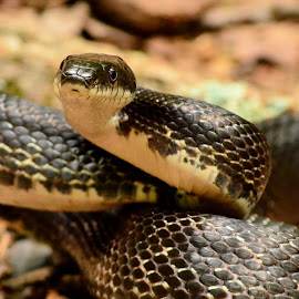 Black Rat Snake by Thaddaeus Smith - Animals Reptiles ( snake, black rat, black )