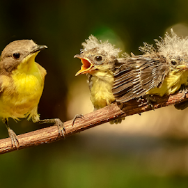 Golden-bellied gerygone & fam by MazLoy Husada - Animals Birds