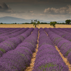 Lavender fields VI by Igor Debevec - Landscapes Prairies, Meadows & Fields ( provence )