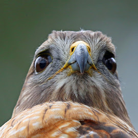 Eye Contact! by Anthony Goldman - Animals Birds ( bird, wild, predator, eye contact, tampa, red shouldered, profile, hawk )