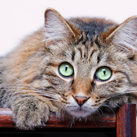 Venni by Mia Ikonen - Animals - Cats Portraits ( kurilian bobtail, focused, clever, expressive,  )