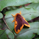 Orange-lined Tussock Moth