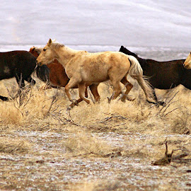 Wild horses running by Gaylord Mink - Animals Horses ( wild, running horses, horses, horses passing, wild  horses,  )