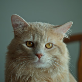 Mr. Purrl by Robin Moore - Animals - Cats Portraits ( cat, fluffy, whiskers, feline,  )