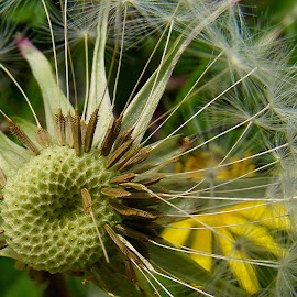 Nearly Time! by Chrissie Barrow - Nature Up Close Other plants ( macro, dandelion, green, seeds, closeup, seedhead )