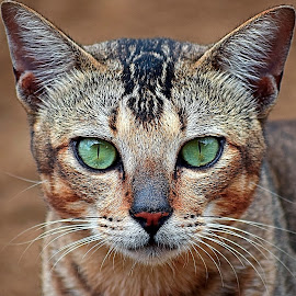 kucing liar 2 by AbngFaisal Ami - Animals - Cats Portraits (  )
