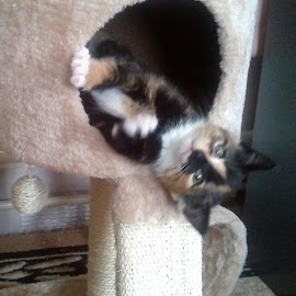 Be-Bo by Lyz Amer - Animals - Cats Kittens ( kitten )