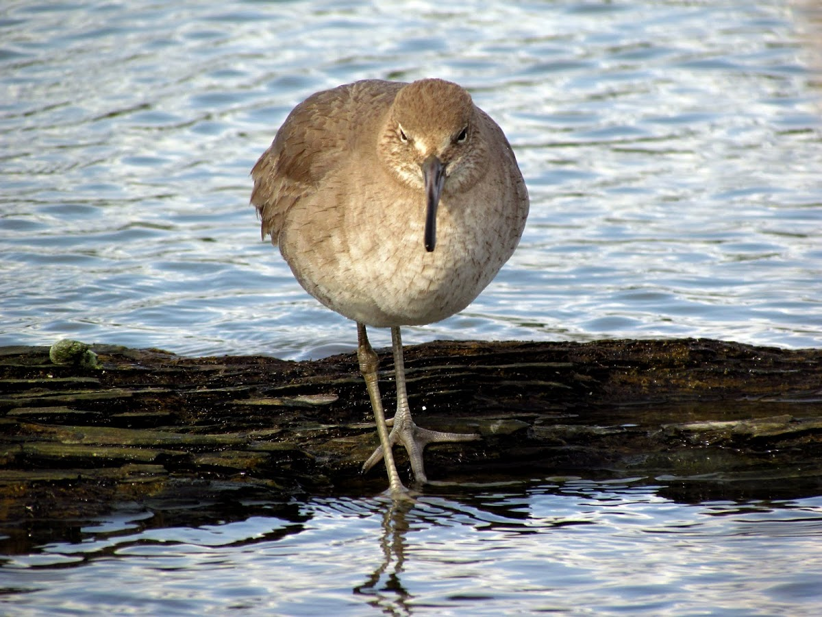 Willet (breeding)