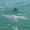 Chinese white dolphin