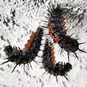 Spiny Elm Caterpillar/Mourning Cloak