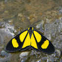 Polilla  Geometridae - Geometrid Moth