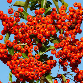 Autumn Berries by Chrissie Barrow - Nature Up Close Trees & Bushes ( orange, sky, blue, autumn, green, shrub, round, leaves, closeup, berries, color )