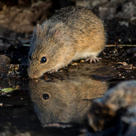 Rocky the Wood Rat by Sandy Hurwitz - Animals Other Mammals ( reflection, pool, windmill blind, cotton rat )