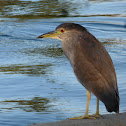 Black-crowned Night-Heron (subadult)
