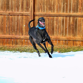 Max Running by Steve Friedman - Animals - Dogs Running ( greyhound,  )