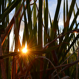 Sun through the cattails. by Denton Thaves - Nature Up Close Leaves & Grasses ( cattails )