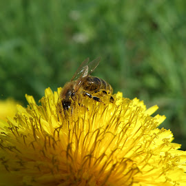 Bee  by Ivan Ristić - Novices Only Wildlife ( bees, pollen, nature, dandelion, bee, nature up close, dandelions, natural )