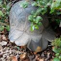 Greek marginated tortoise (κρασπεδοχελώνα)