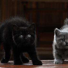 by Cacang Effendi - Animals - Cats Kittens ( cats, kitten, cattery, chandra, animal )