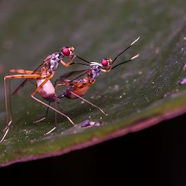 Mating by Arabinda Rajkhowa - Animals Insects & Spiders ( devakrishna, debojit, poran, ashwni, rajib )