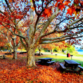 Autumn Fall by Brian Blood - City,  Street & Park  City Parks ( tree, park, autumn, oak, fall, leaves,  )