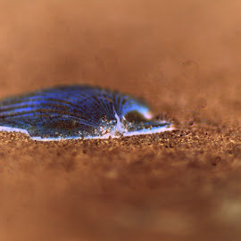 Blue & Orange Clam in the Sand by Matt Dittsworth - Nature Up Close Sand ( sand, orange, blue, clam, brown, beach, orange. color )