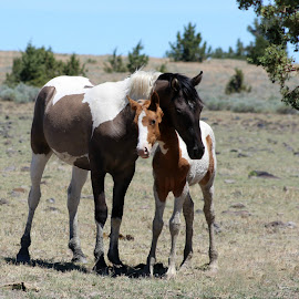 Sweetness!!! by Kathy Tellechea - Animals Horses ( sagebrush, wild, animals, mountain, mustangs, horses, pintos, steens,  )