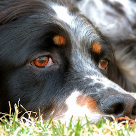 Radar by Sydney Badeau - Animals - Dogs Portraits ( grass, white, setter, brown, dog, english, black )