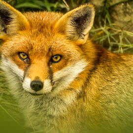 Fox at Ark on the Edge by Colin Waite - Animals Other Mammals ( fox mammal dog fur eyes ears )