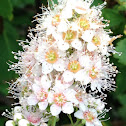Northern meadowsweet