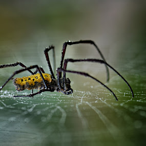 my spider by Joni Alir - Animals Insects & Spiders
