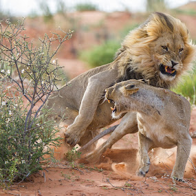Watch out !! by Bridgena Barnard - Animals Lions, Tigers & Big Cats ( nature, wildlife, lions, mating,  )